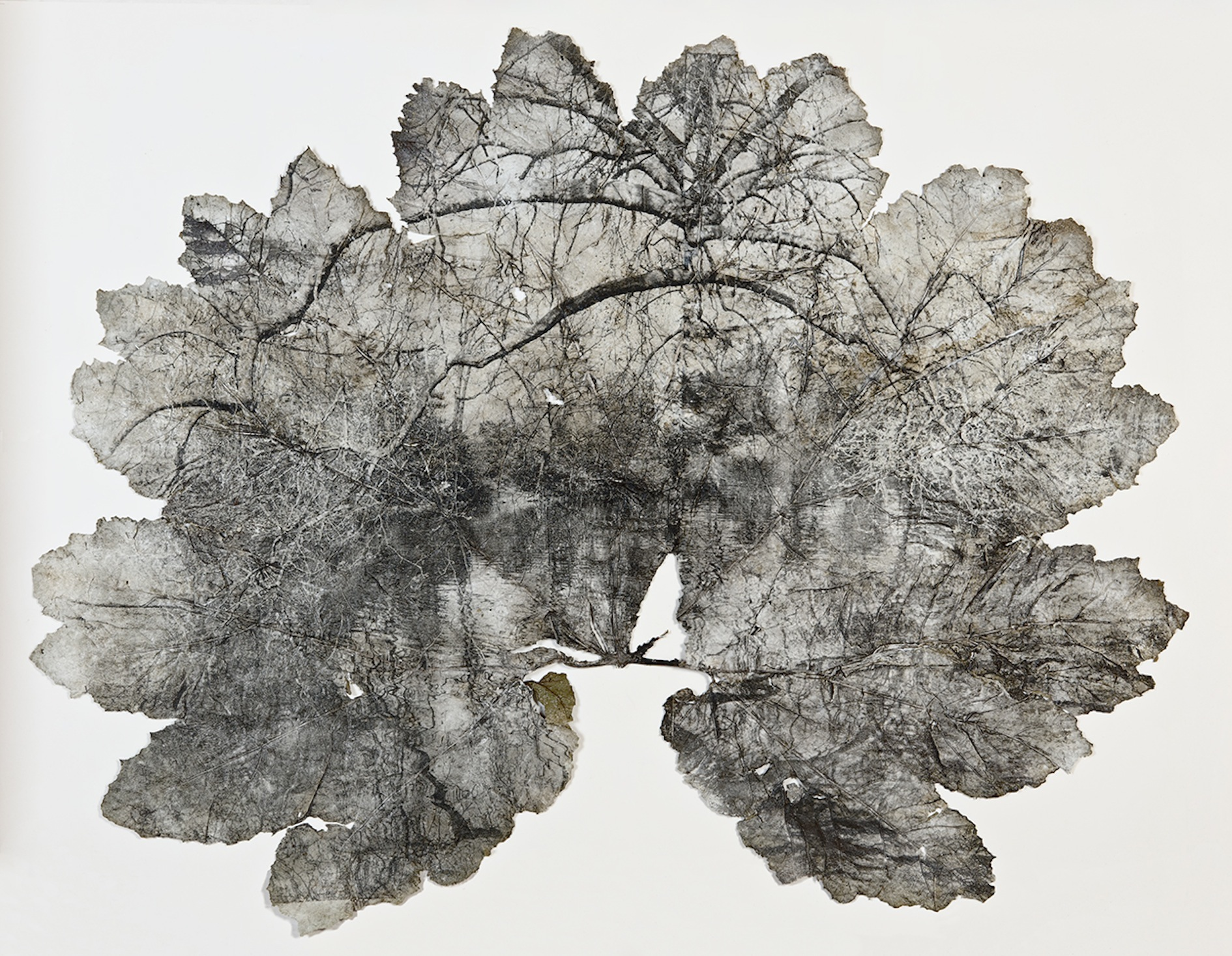 Untitled - 160cm x 120cm - Silver gelatin print on Gunnera Manicata leaf
